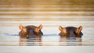 Two hippos in the water of the Sabie River, Kosher Tour to South Africa