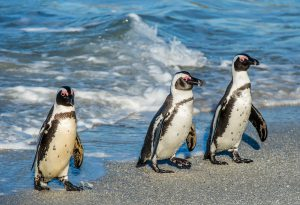 Penguins, Kosher Tour to South Africa