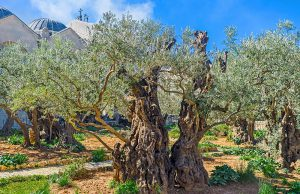 Greek Orthodox Pilgrimage Tour to the Holy Land 2018, 13 days/12 nights. The Gethsemane Garden in Jerusalem