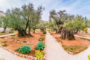 Bibleland Tour, 8 days / 7 nights. Gethsemane garden